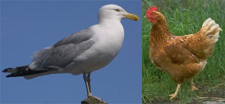 seagull vs chicken