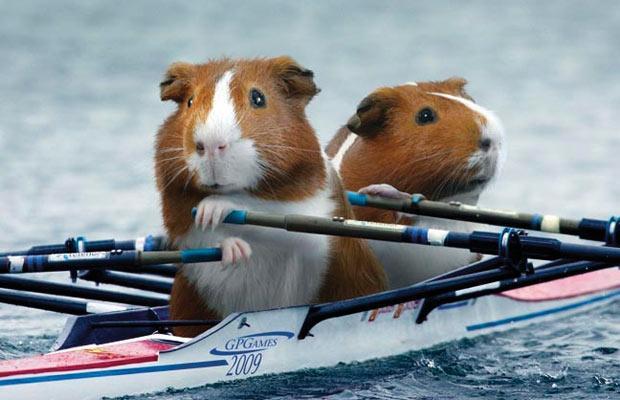 Guinea Pig Rowers